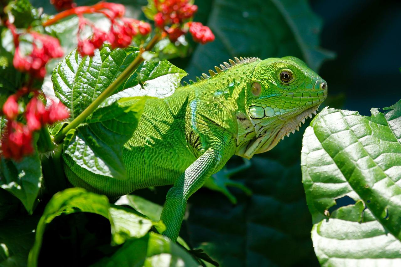 iguana-223157_1280