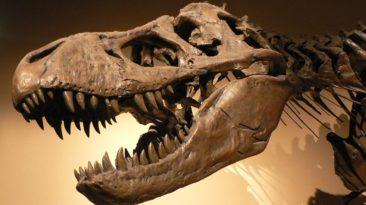 Tyrannosaurus rex - By Copyright © 2005 David Monniaux - Own work, CC BY-SA 3.0, https://commons.wikimedia.org/w/index.php?curid=494543