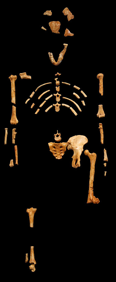 A cast of Lucy's bones. Johanssen is famous for finding and describing Lucy as an intermediary homonid fossil. He bases his assumption on the arm-leg ratio which according to him is midway between that of an ape and man. However, there are so many components missing that a ratio cannot be determined. Apparently the hip is distorted so that she had an upright gait, however, there is no evidence that the hip is distorted which makes her the same as any other ape. The rest of the fossil is 100% ape, so many scientists believe that Lucy was just that - an ape similar to a pigmy chimp. By 120 - own picture worked with photoshop, CC BY 2.5, https://commons.wikimedia.org/w/index.php?curid=1849141